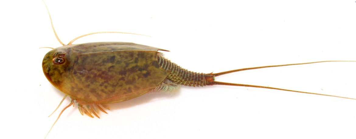 Tadpole shrimps challenge the term 'living fossil'