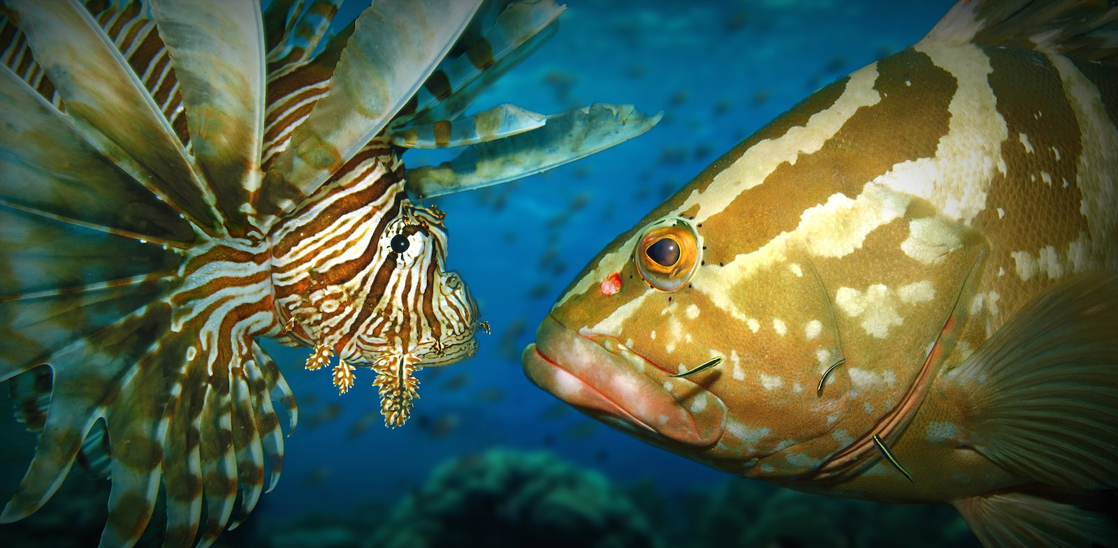 Can large-bodied grouper control the spread of invasive lionfish in the Caribbean?