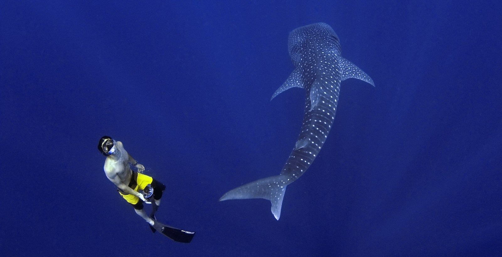 The Maldives & the whale shark: the world's biggest fish adds value to paradise