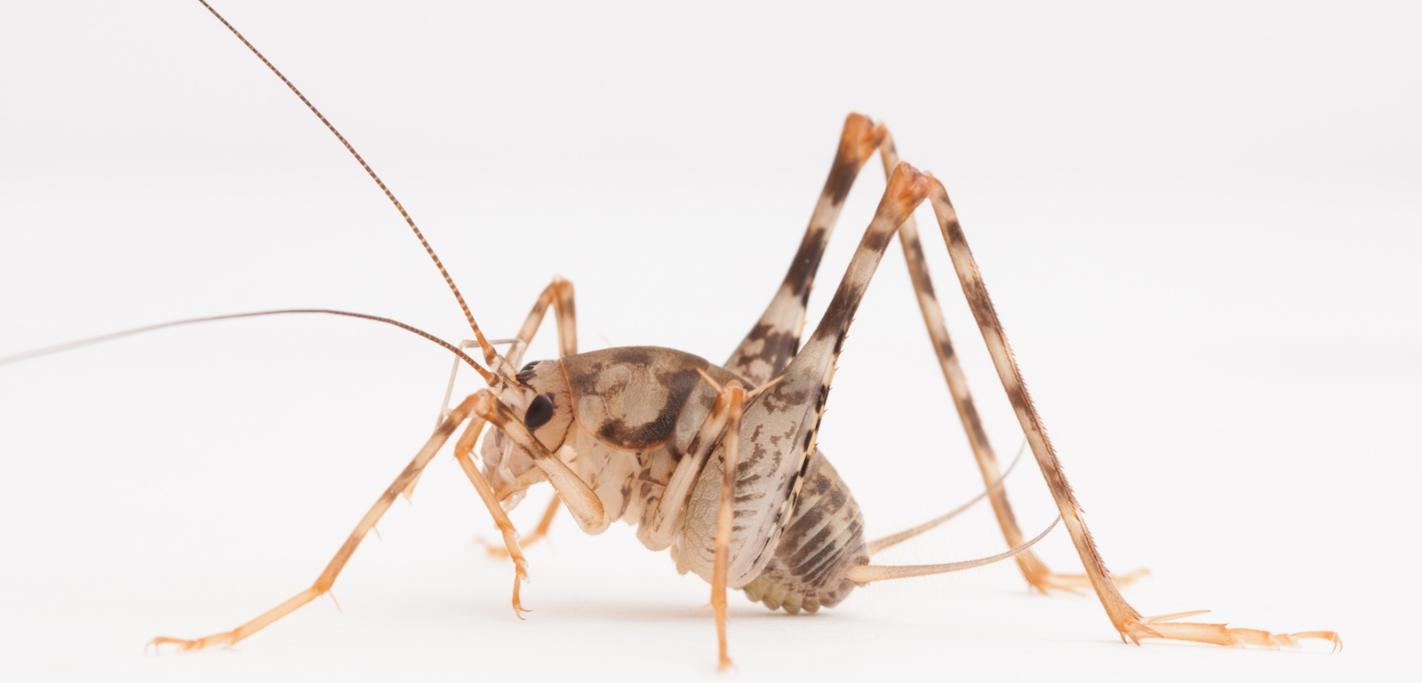 Invasive Asian Camel Crickets are now common in U.S. homes