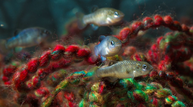 Harvesting the endangered Devils Hole pupfish for captive breeding