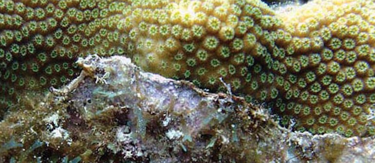 Turf algae-mediated coral damage in Belizean reefs