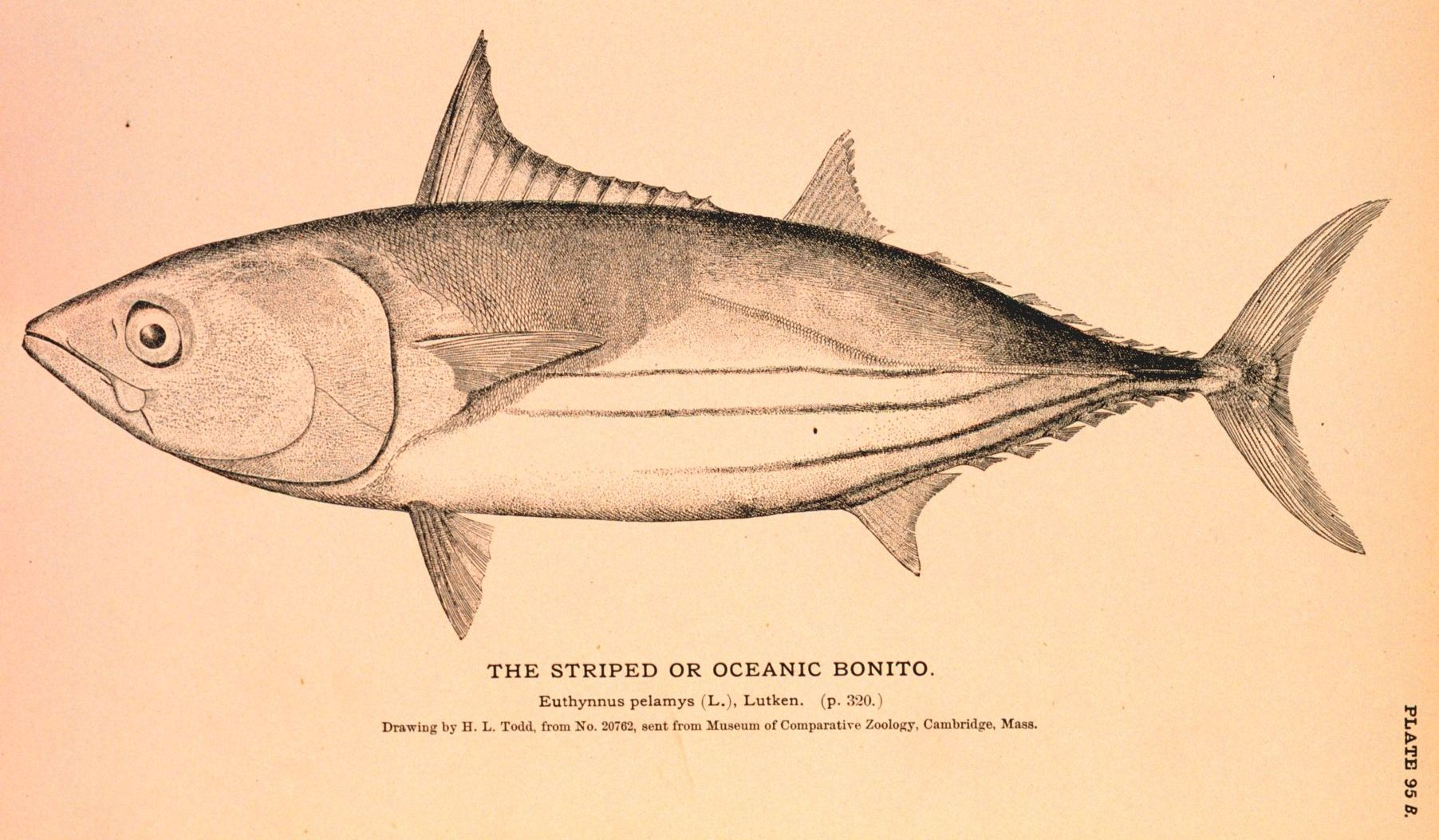 Weight–length relationships & Fulton's condition factors of skipjack tuna