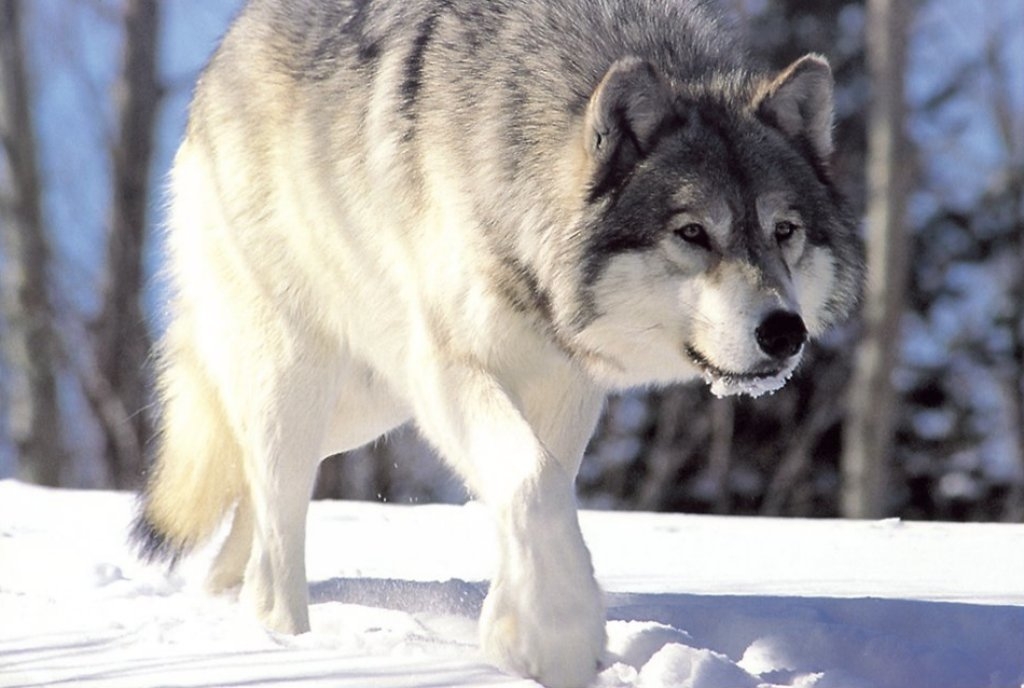 Chinese villagers' perceptions of wolves