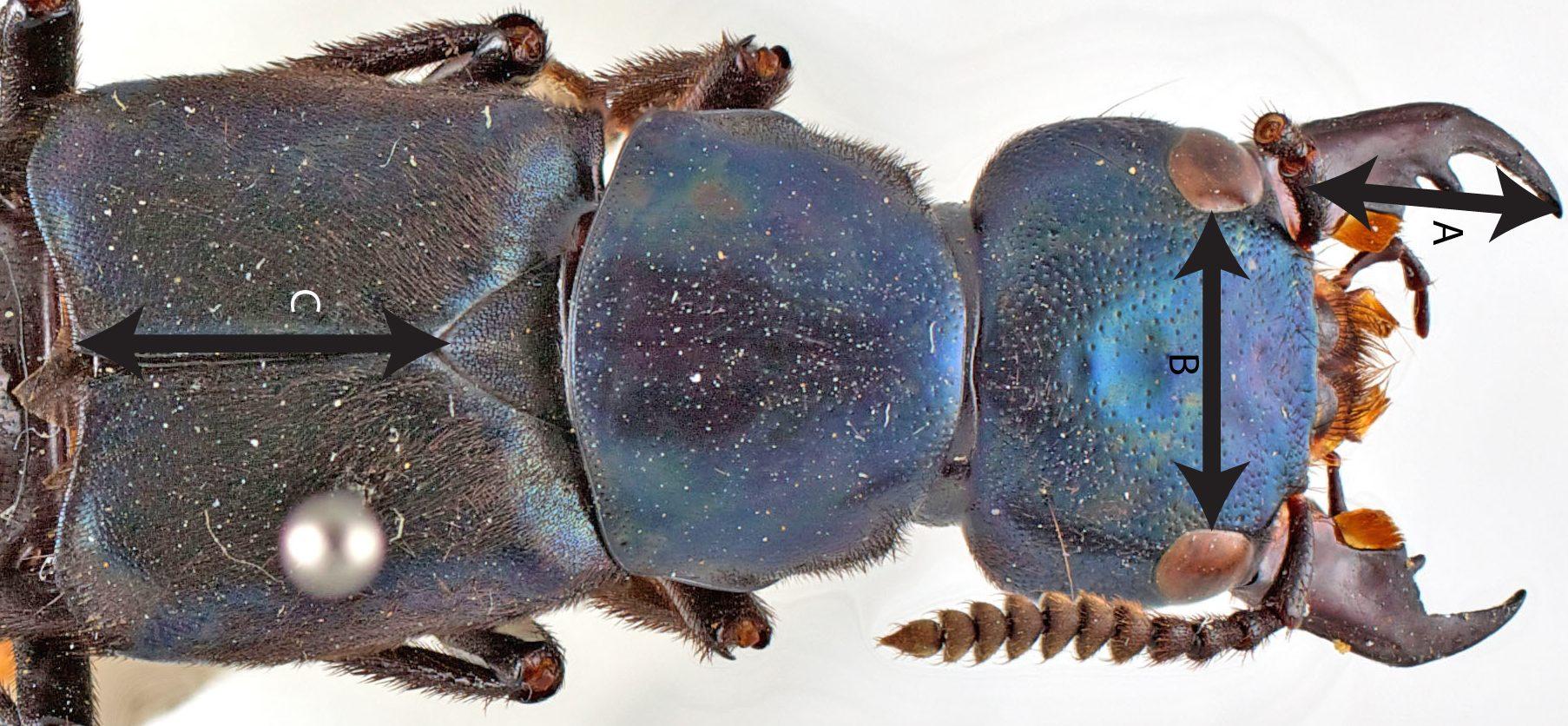 Triacrus dilatus