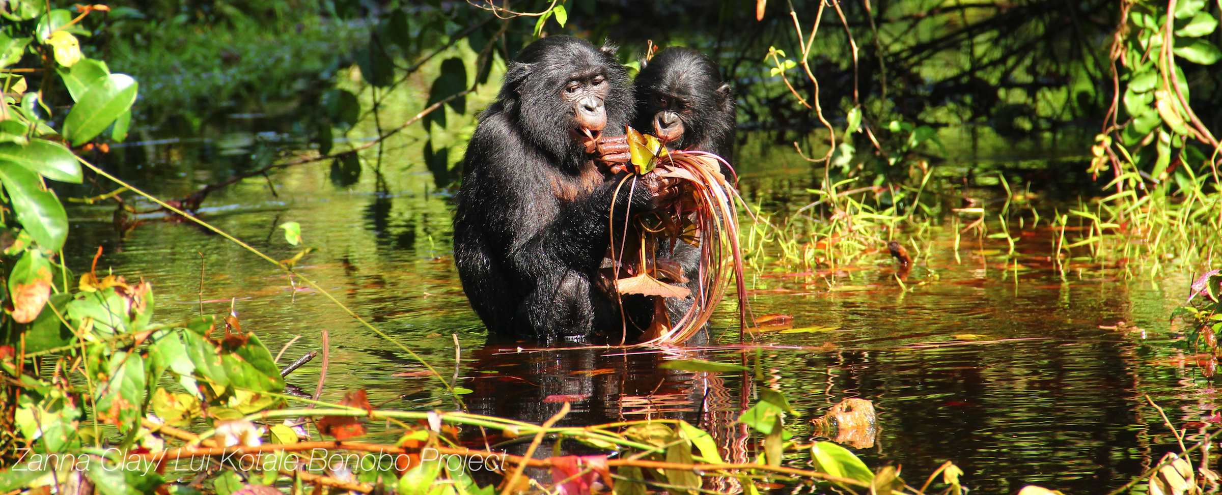 Flexible vocalizations in wild bonobos show similarities to development of human speech