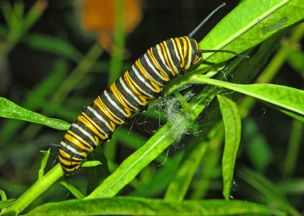 Climate warming and the development of monarch caterpillars