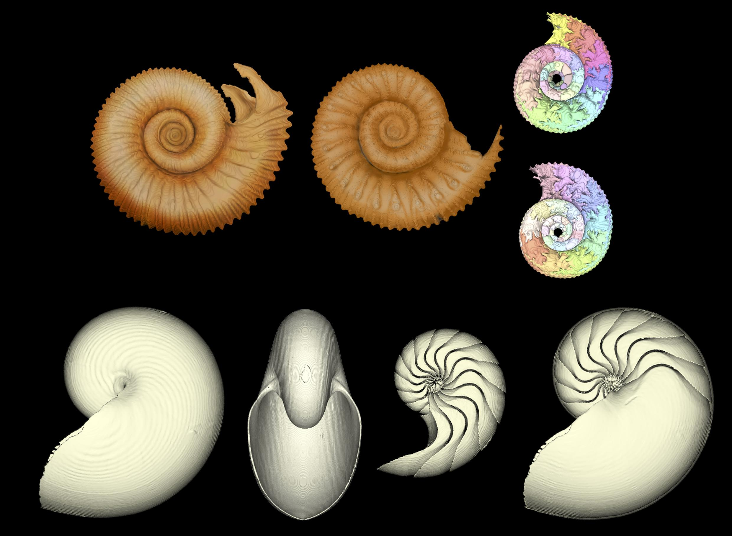 Using 3D computed tomography to measure intraspecific variation in ammonoids