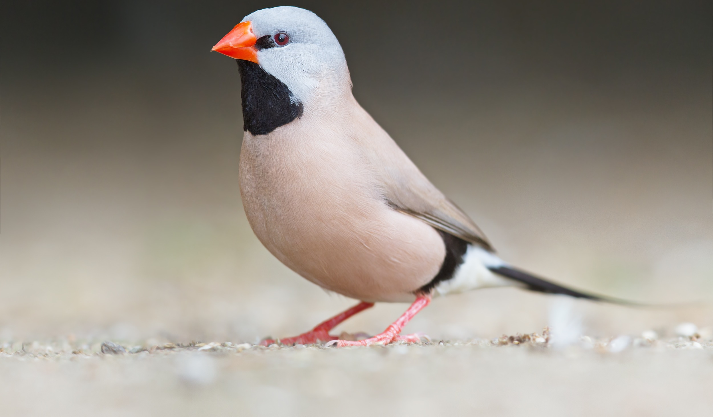 Does social monogamy mean genetic monogamy in the long-tailed finch?