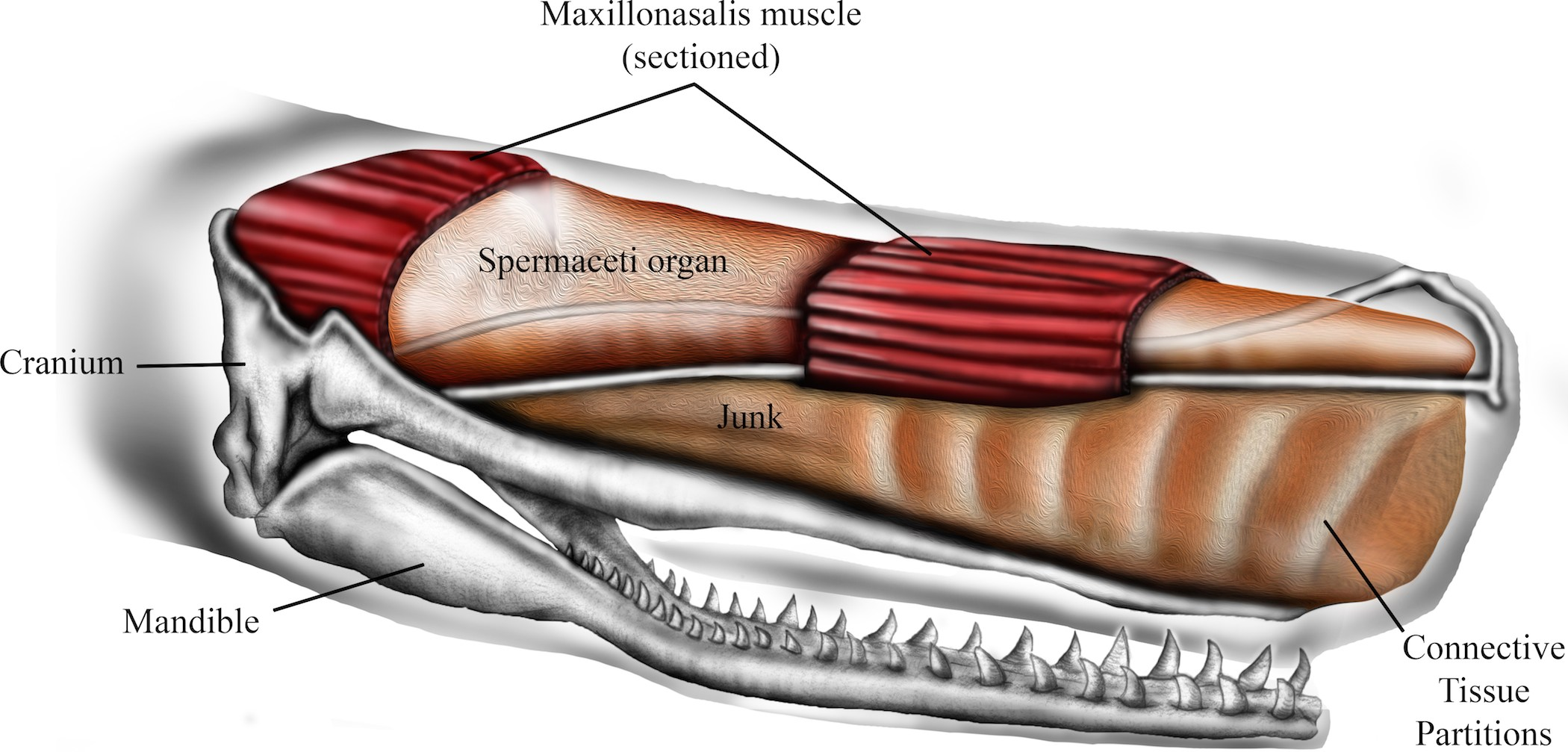 Architecture of the sperm whale forehead facilitates ramming combat