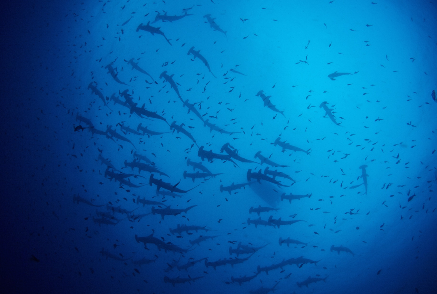 Northern Galápagos Islands is home to the world's largest shark biomass