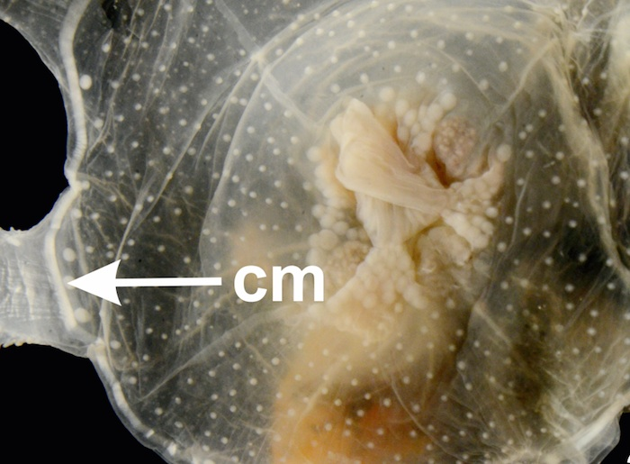Systematics of stalked jellyfishes