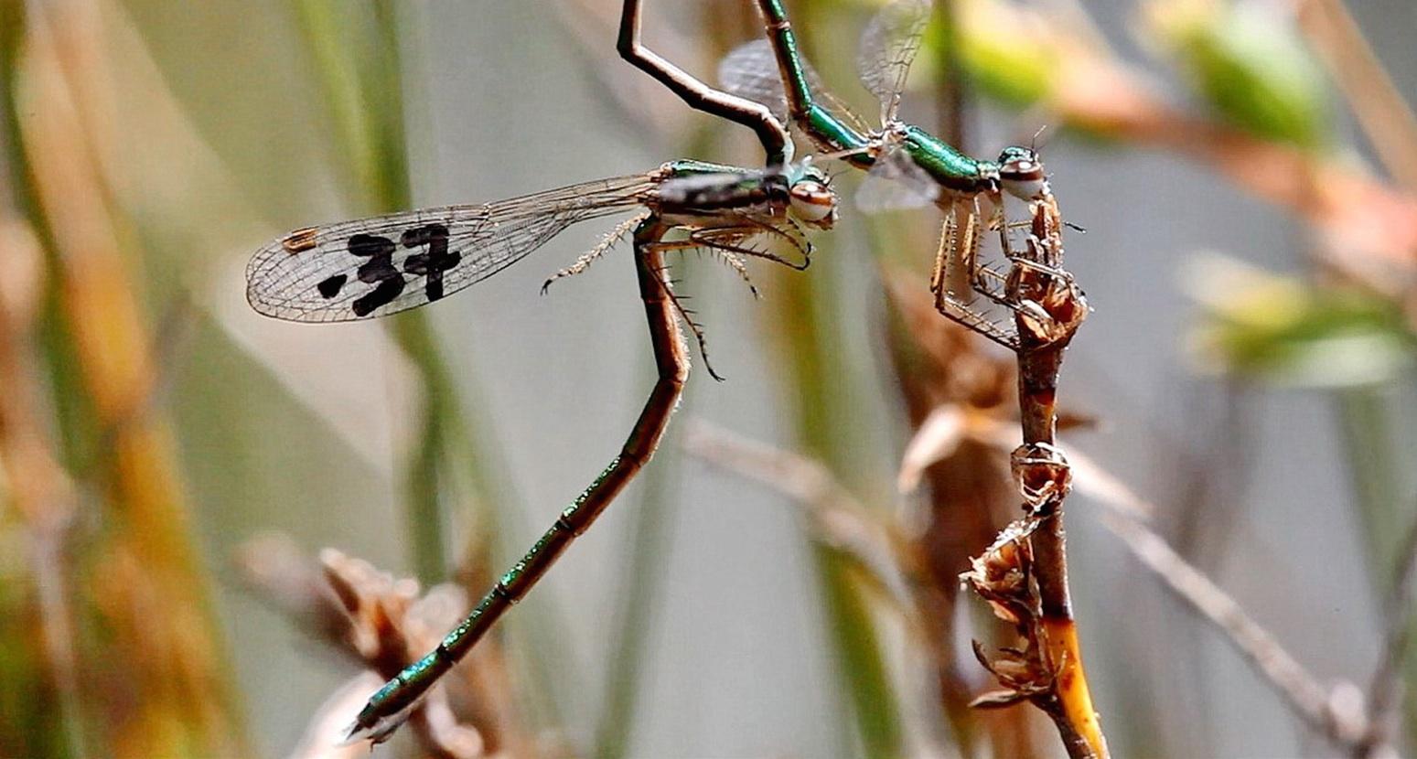 Intra-male sperm translocation behavior