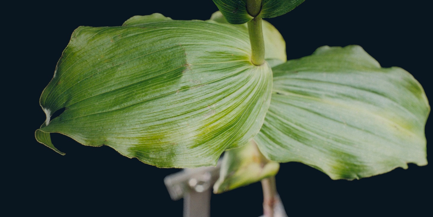 Epipactis leaves