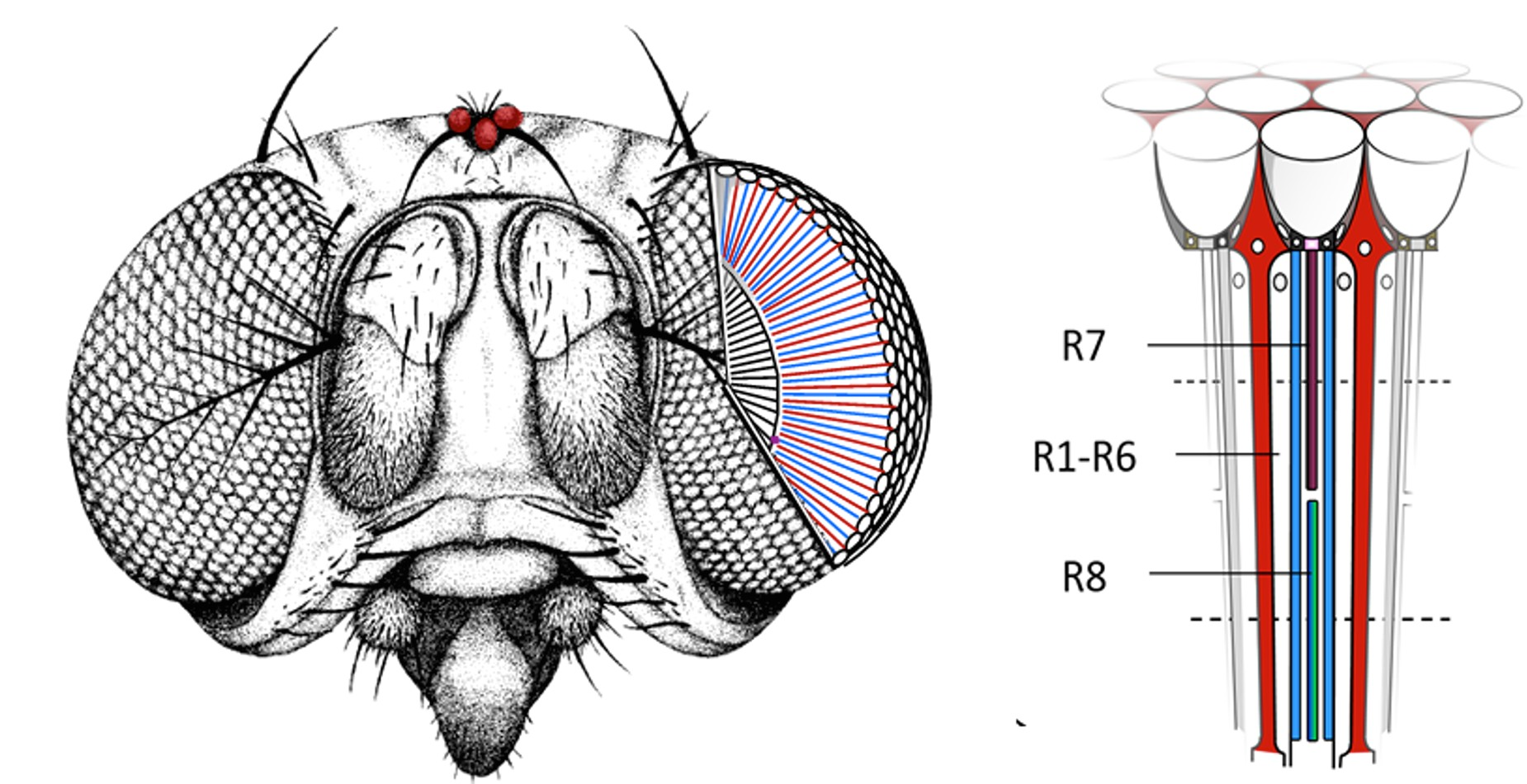 An unusual protein  in the eye of drosophila