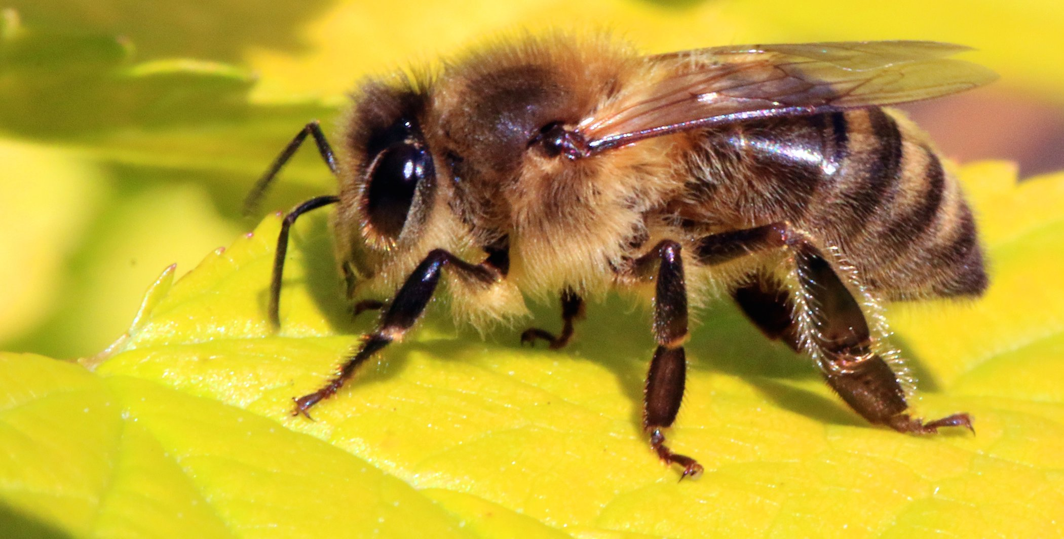The effects of urbanization on wild bees