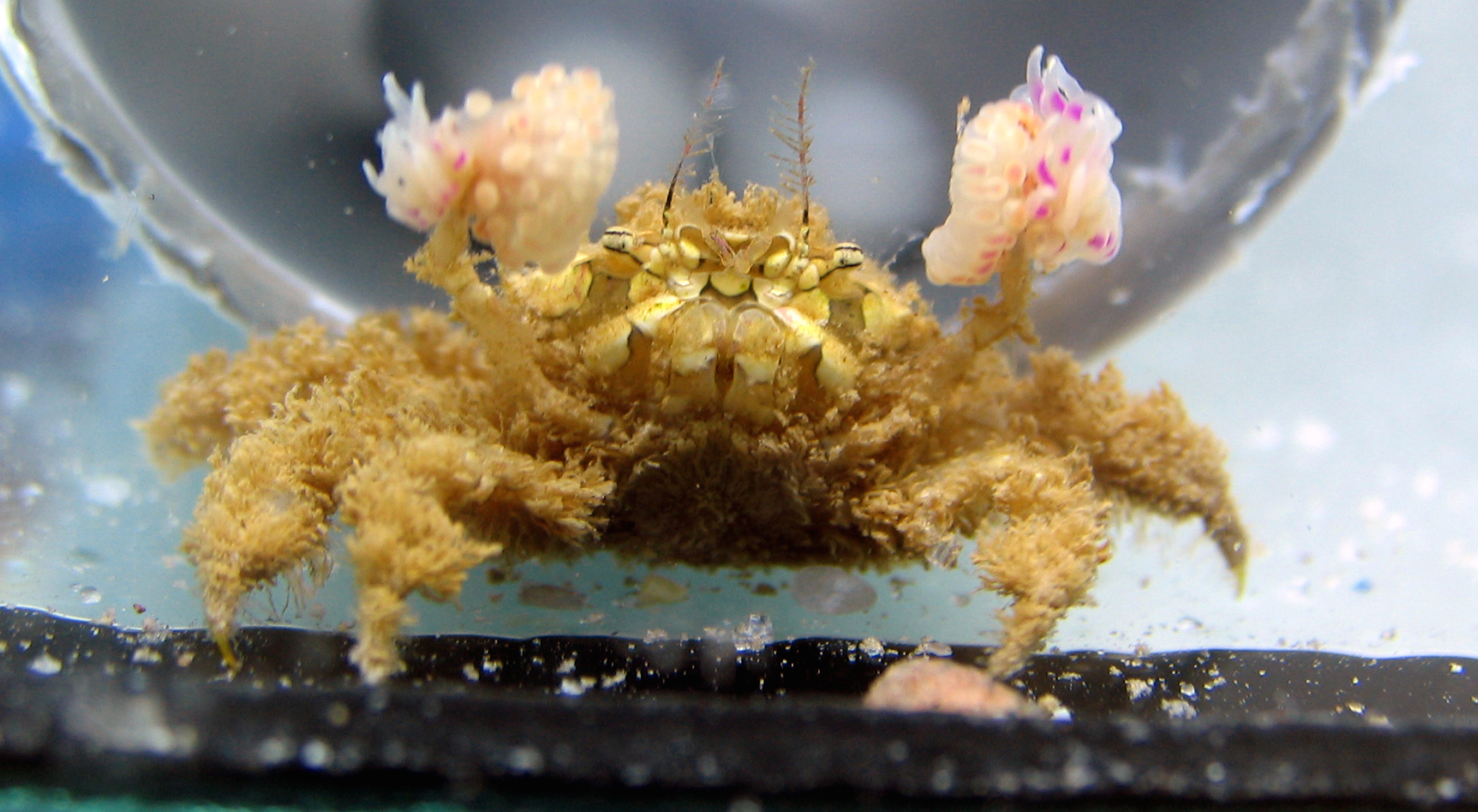 How boxer crabs acquire their anemones