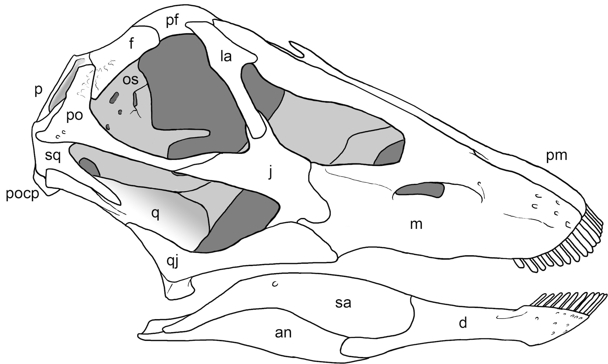 Osteology of Galeamopus pabsti sp. nov.