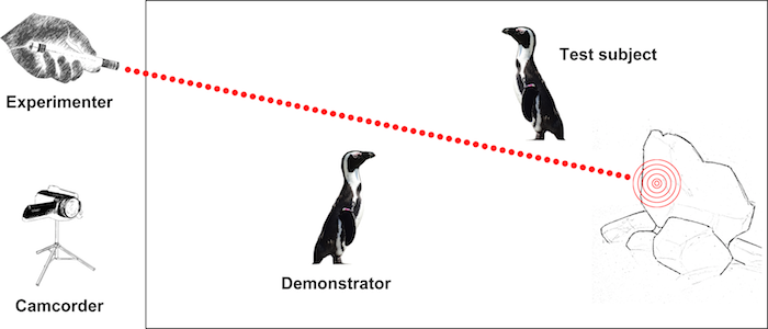 African penguins follow the gaze direction of conspecifics