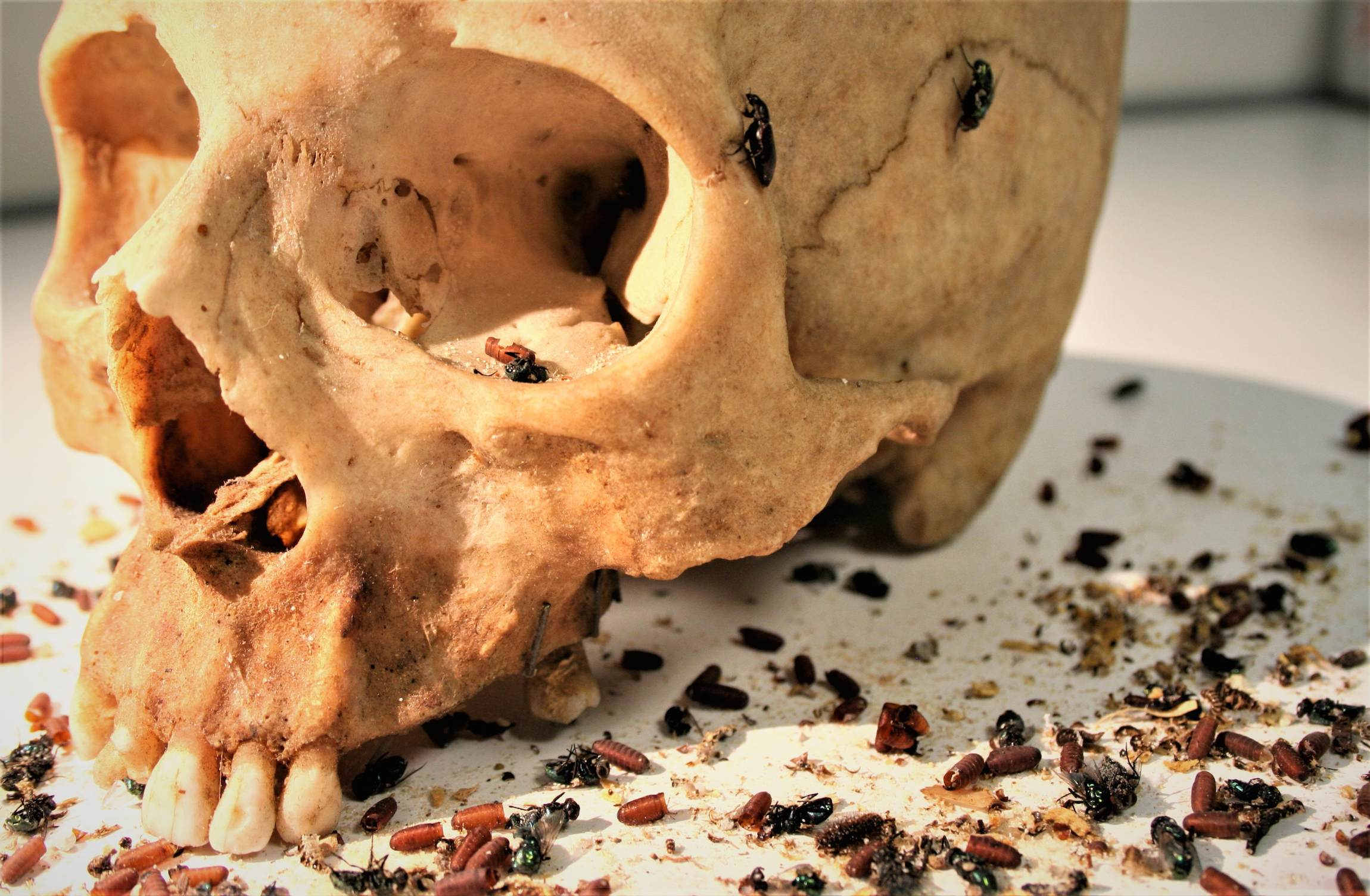 Use of necrophagous insects as evidence of cadaver relocation: myth or reality?