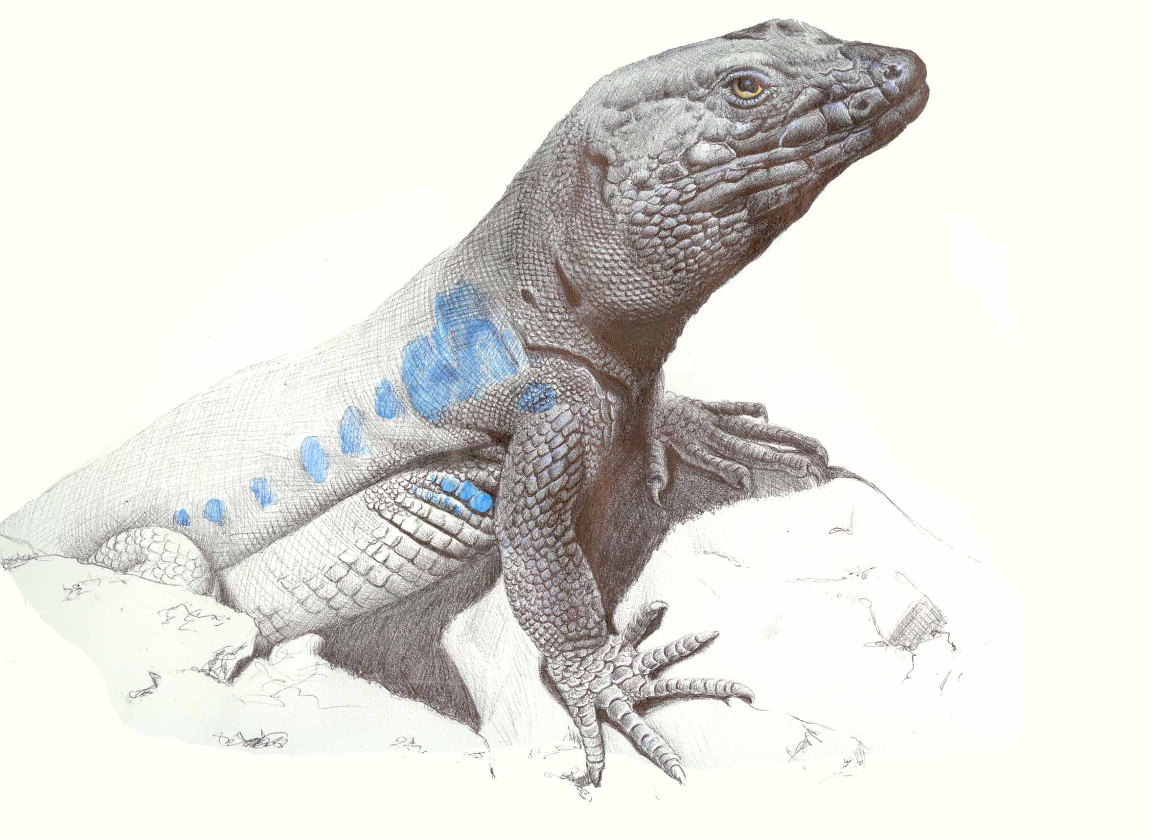 Variation in the chemical signals of the lizard Gallotia galloti