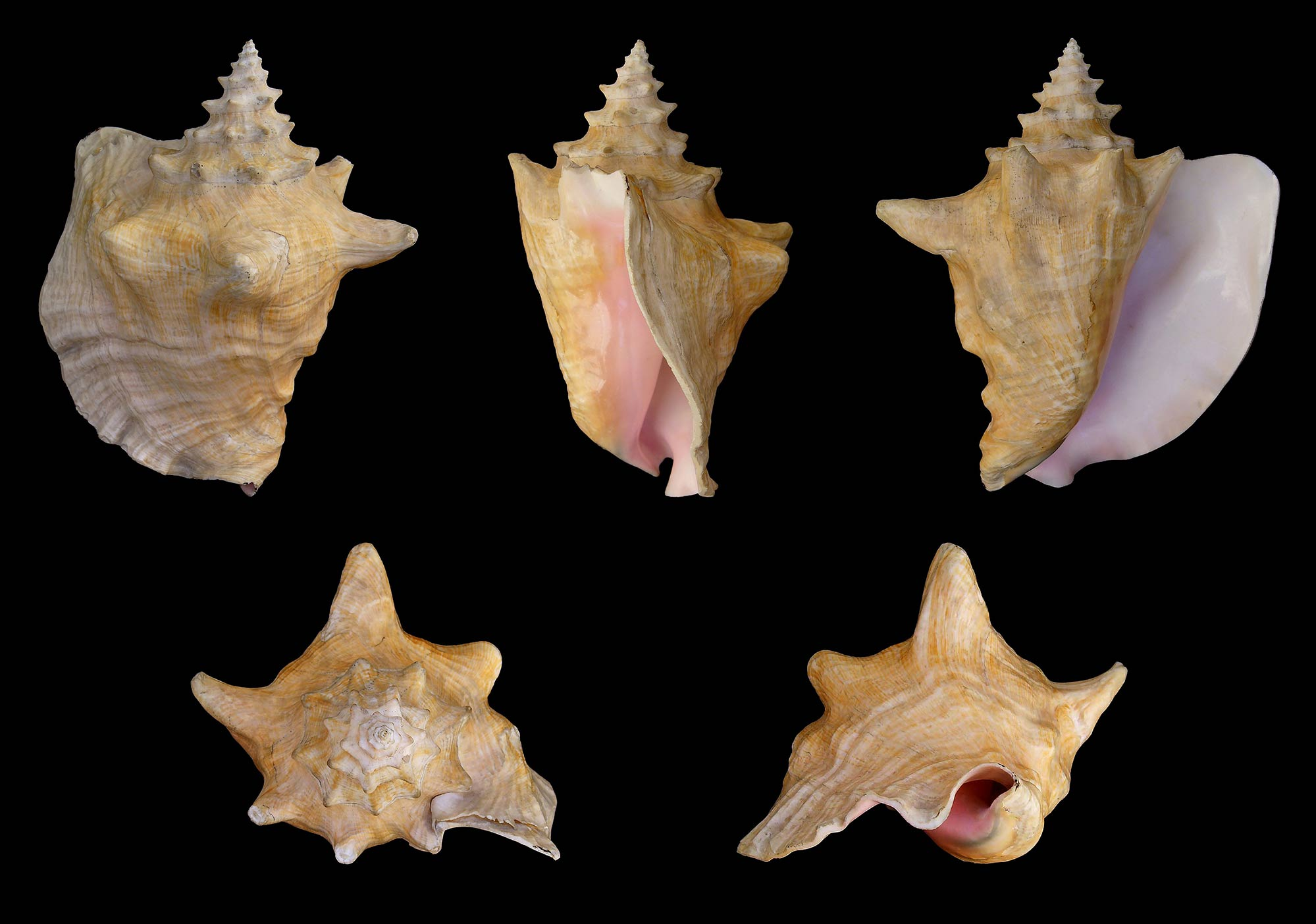 Five different views of an adult shell of L. gigas