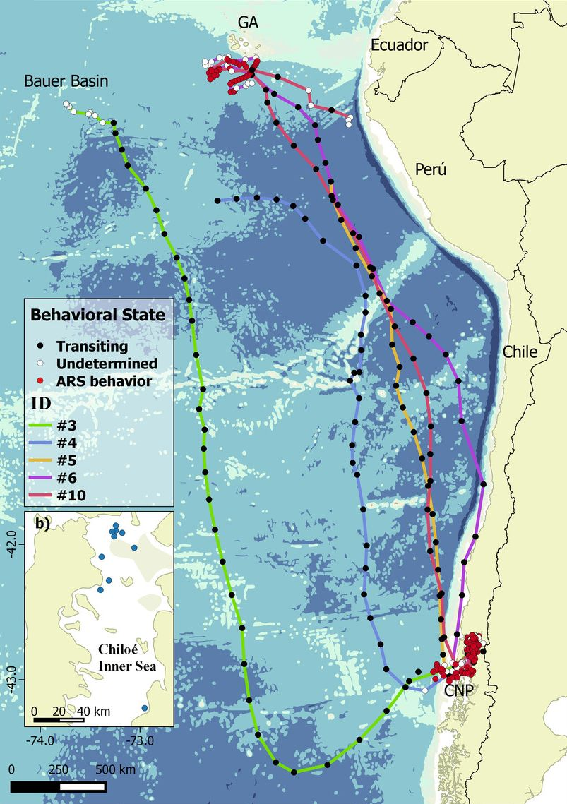 Blue whale migratory pathways along the Eastern South Pacific
