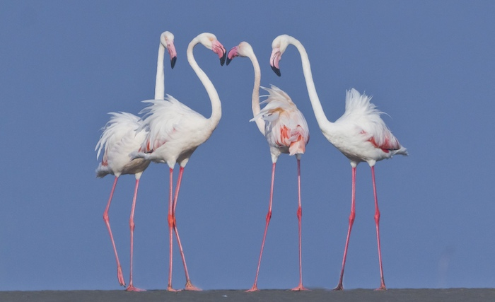 Investigating parental care behaviour in same-sex pairing of zoo greater flamingo