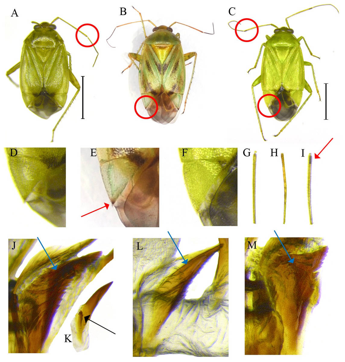 COI barcoding of plant bugs