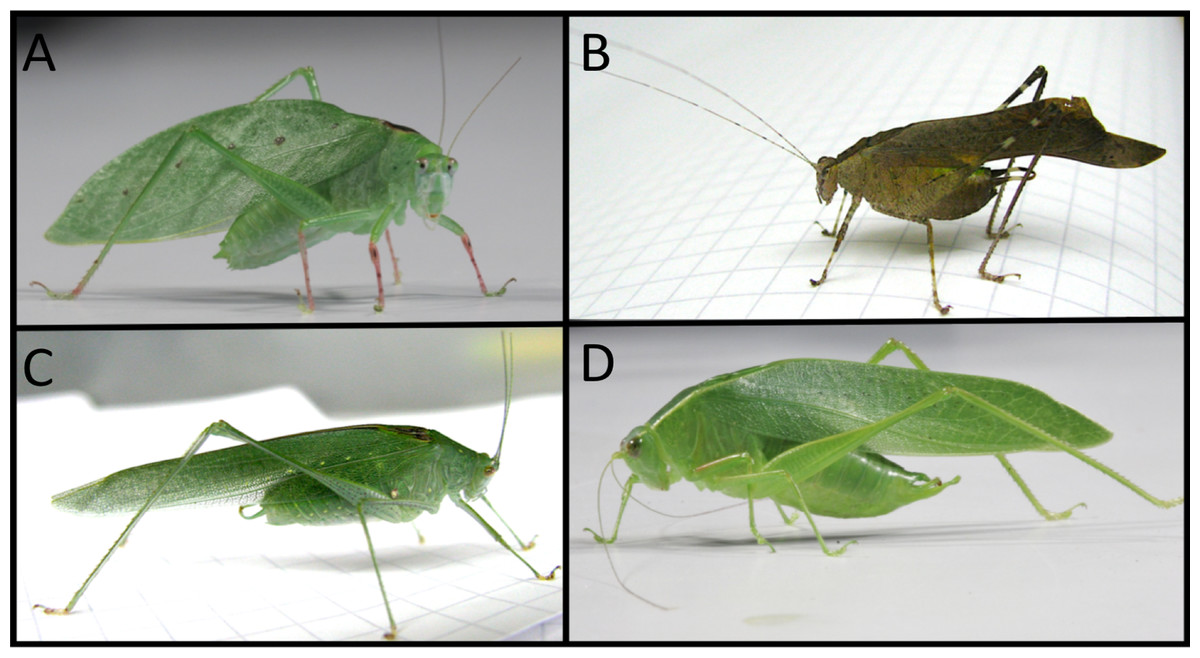DNA analysis to determine the identity of plant material from the digestive tracts of katydids