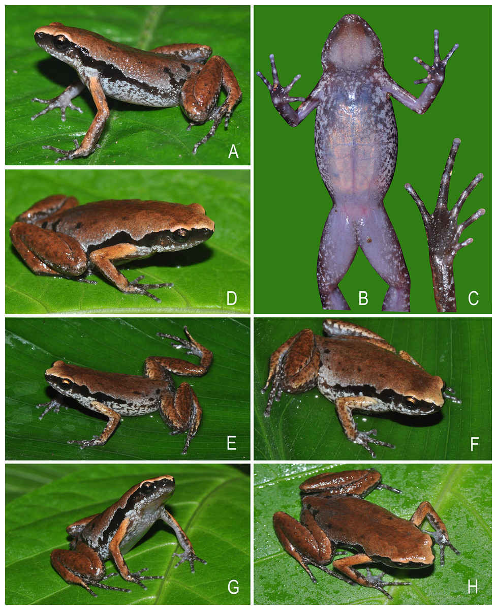 A new species of Micryletta frog