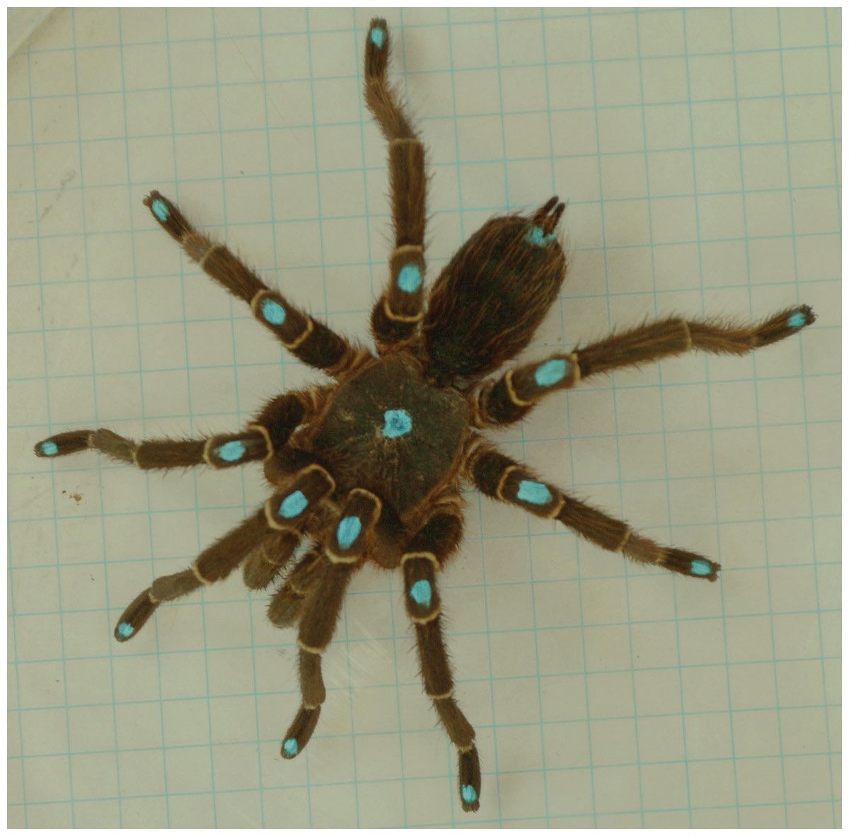 Kinematics of male tarantula locomotion